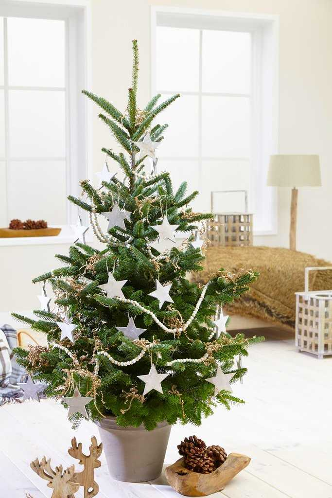 A potted Christmas tree can last several Christmases, but it can only be kept indoors for up to 12 days